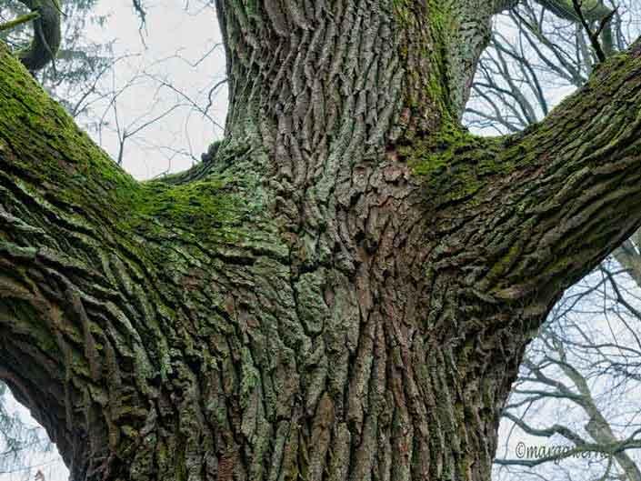 Marga Werner – Stieleiche – Quercus robur